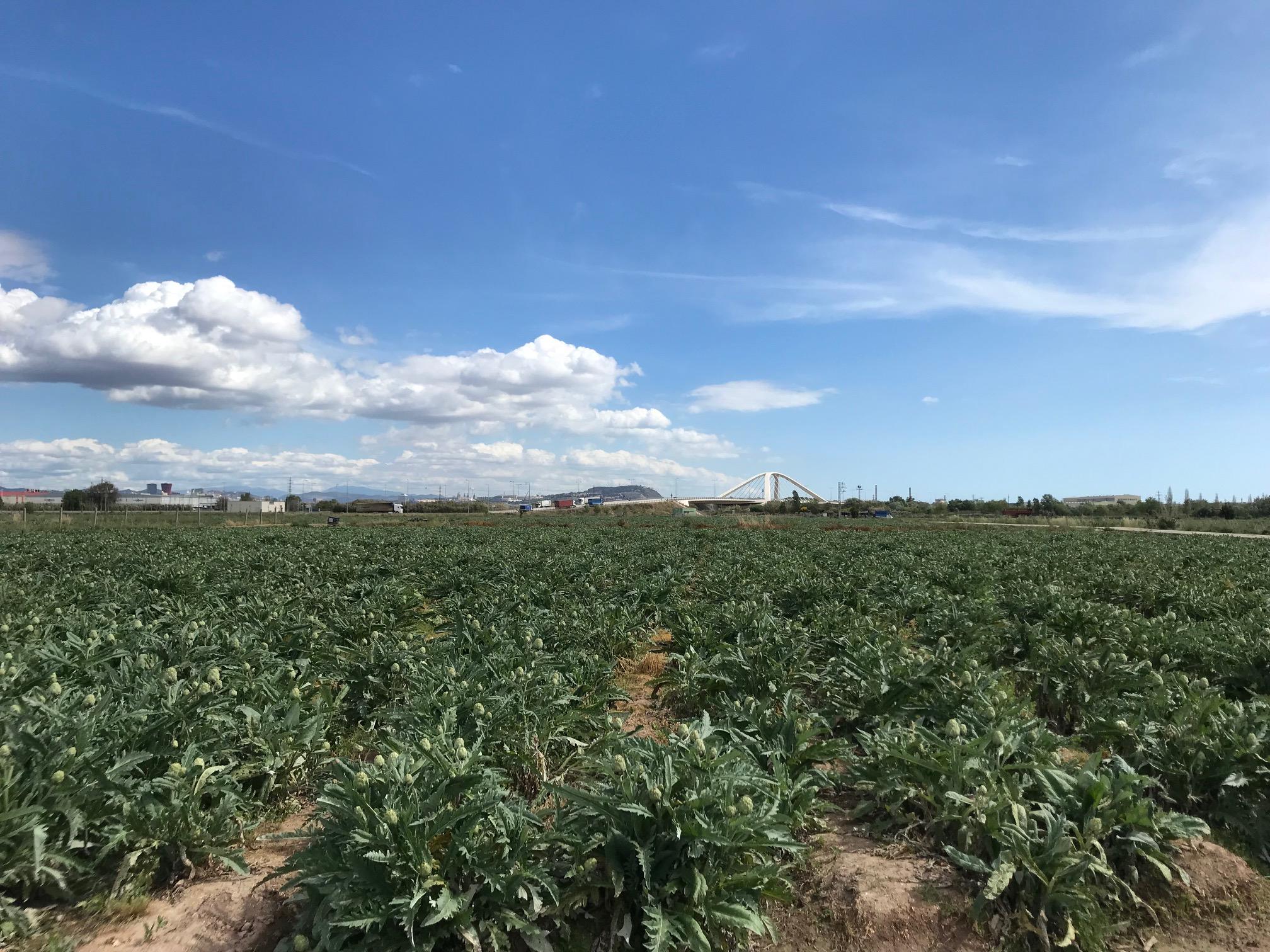 Campo de Alcachofa Prat, la reina de la huerta